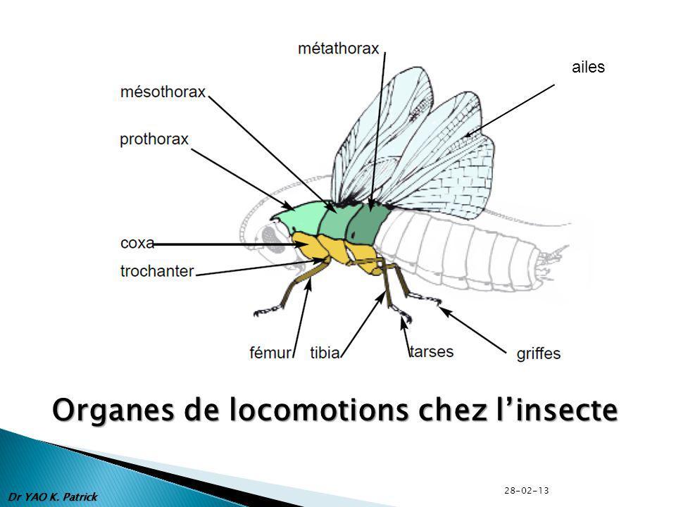 Organes de locomotions chez linsecte ailes Dr YAO K. Patrick 28-02-13