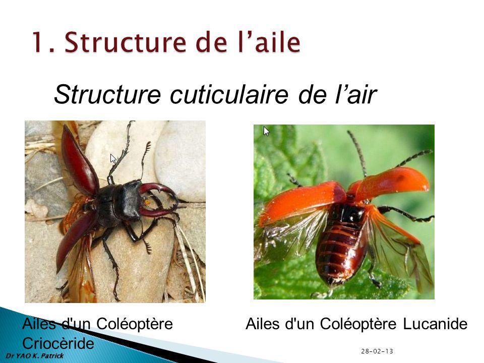 Dr YAO K. Patrick Structure cuticulaire de lair Ailes d'un Coléoptère Criocèride Ailes d'un Coléoptère Lucanide 28-02-13