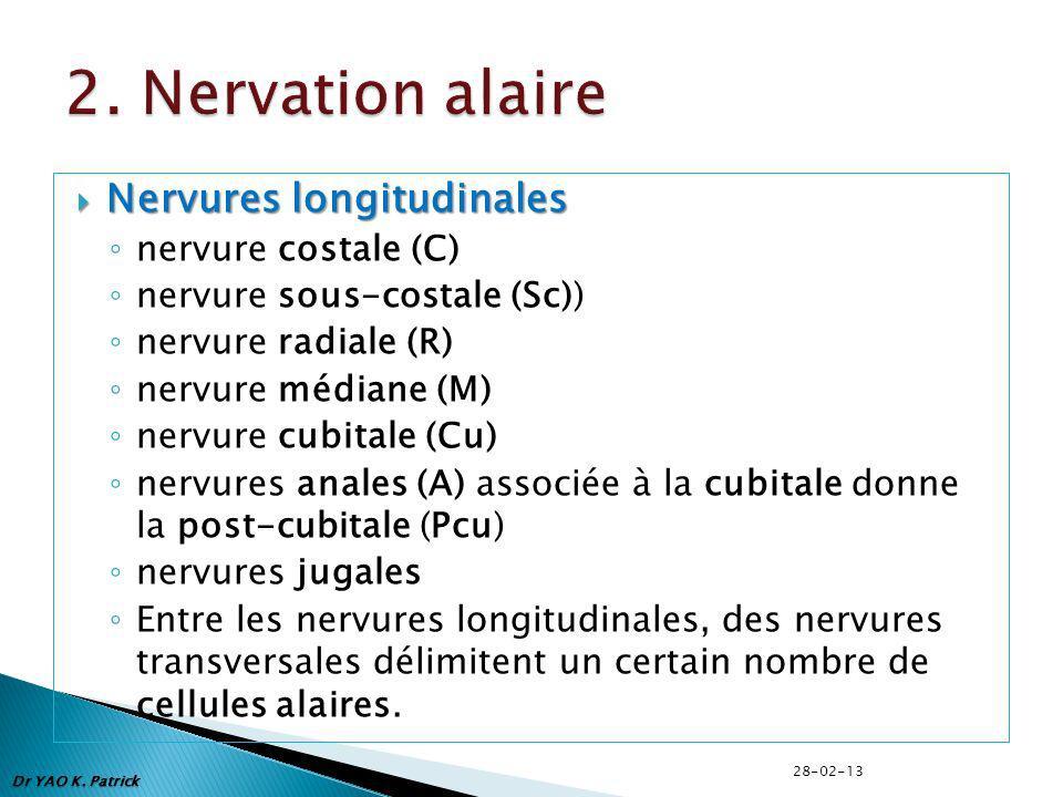 Nervures longitudinales Nervures longitudinales nervure costale (C) nervure sous-costale (Sc)) nervure radiale (R) nervure médiane (M) nervure cubitale (Cu) nervures anales (A) associée à la cubitale donne la post-cubitale (Pcu) nervures jugales Entre les nervures longitudinales, des nervures transversales délimitent un certain nombre de cellules alaires.