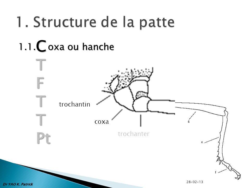 1.1. oxa ou hanche CTFTTPt trochantin coxa trochanter Dr YAO K. Patrick 28-02-13