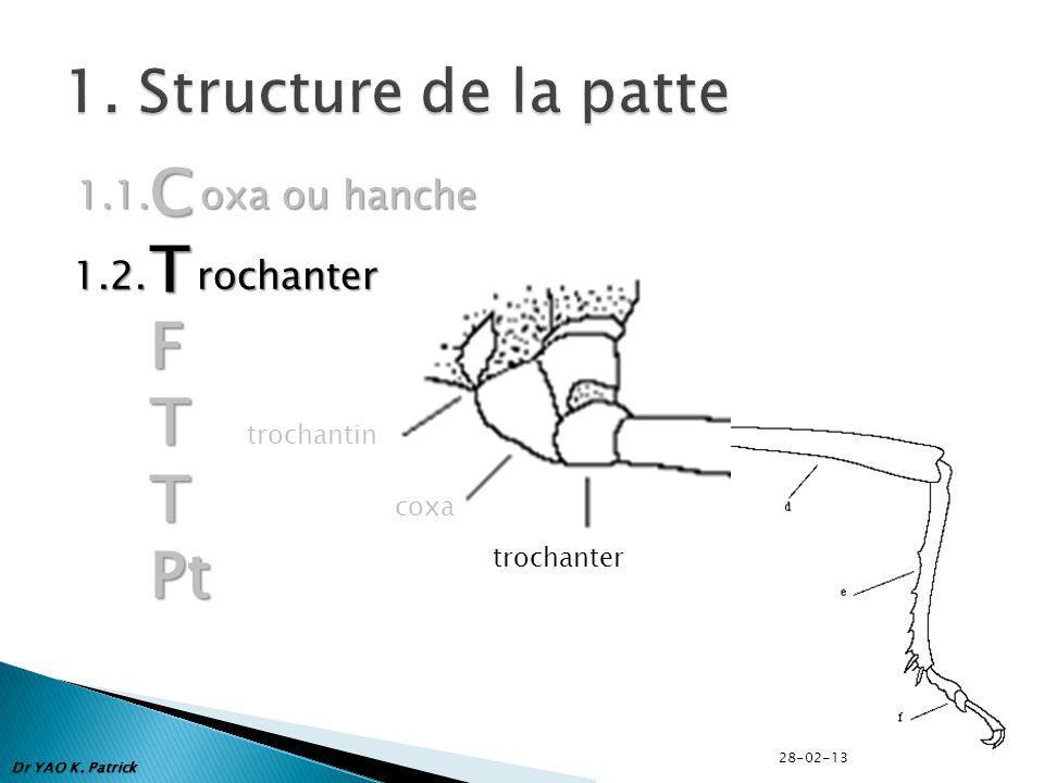 1.1. oxa ou hanche CTFTTPt trochantin coxa trochanter 1.2. rochanter Dr YAO K. Patrick 28-02-13