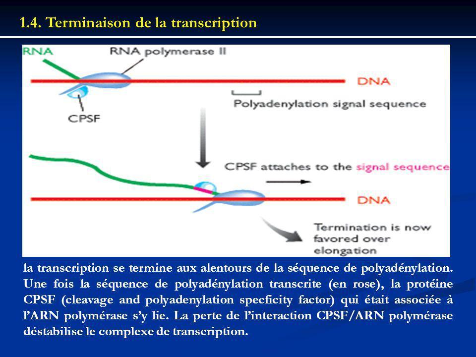 1.4. Terminaison de la transcription la transcription se termine aux alentours de la séquence de polyadénylation. Une fois la séquence de polyadénylat