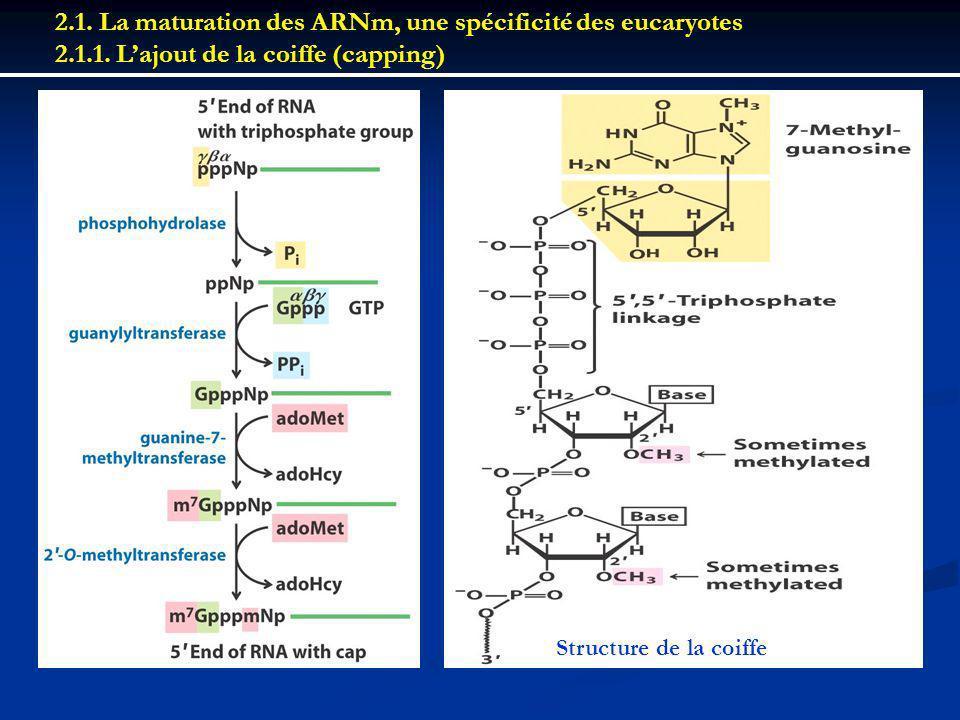 2.1. La maturation des ARNm, une spécificité des eucaryotes 2.1.1. Lajout de la coiffe (capping) Structure de la coiffe
