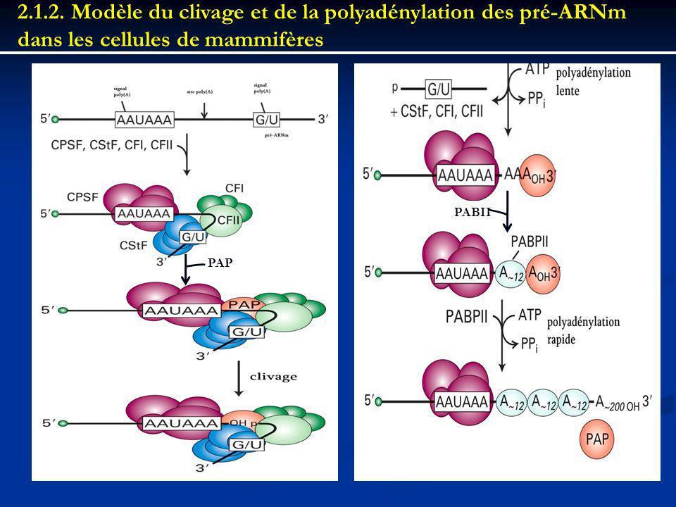 2.1.2. Modèle du clivage et de la polyadénylation des pré-ARNm dans les cellules de mammifères PAP PABII