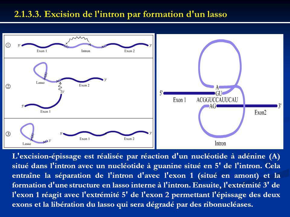 2.1.3.3. Excision de l'intron par formation d'un lasso L'excision-épissage est réalisée par réaction d'un nucléotide à adénine (A) situé dans l'intron
