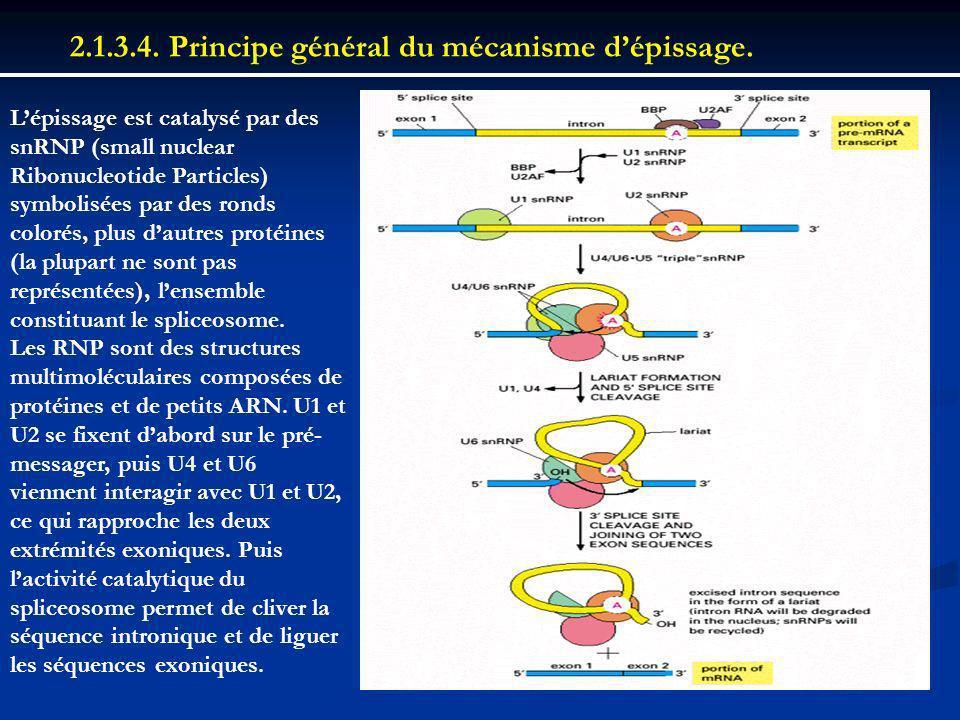 2.1.3.4. Principe général du mécanisme dépissage. Lépissage est catalysé par des snRNP (small nuclear Ribonucleotide Particles) symbolisées par des ro