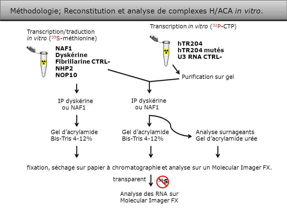 Méthodologie; Reconstitution et analyse de complexes H/ACA in vitro. Transcription/traduction in vitro ( 35 S-méthionine) NAF1 Dyskérine Fibrillarine