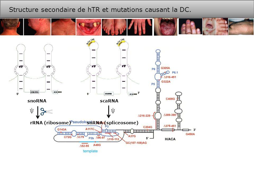 inv413-416 Les boîtes H et ACA dans hTR sont essentielles à la formation de pré-RNP.