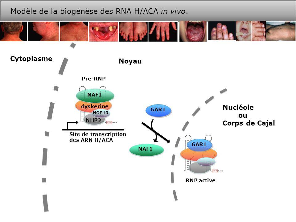 Les mutations C408G et 378-451 empêchent la formation de RNP. IP NAF1
