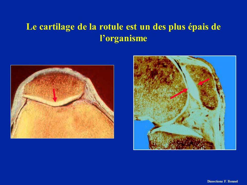 Le cartilage de la rotule est un des plus épais de lorganisme Dissections F. Bonnel