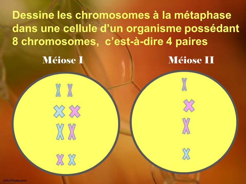 Dessine les chromosomes à la métaphase dans une cellule dun organisme possédant 8 chromosomes, cest-à-dire 4 paires Méiose IMéiose II