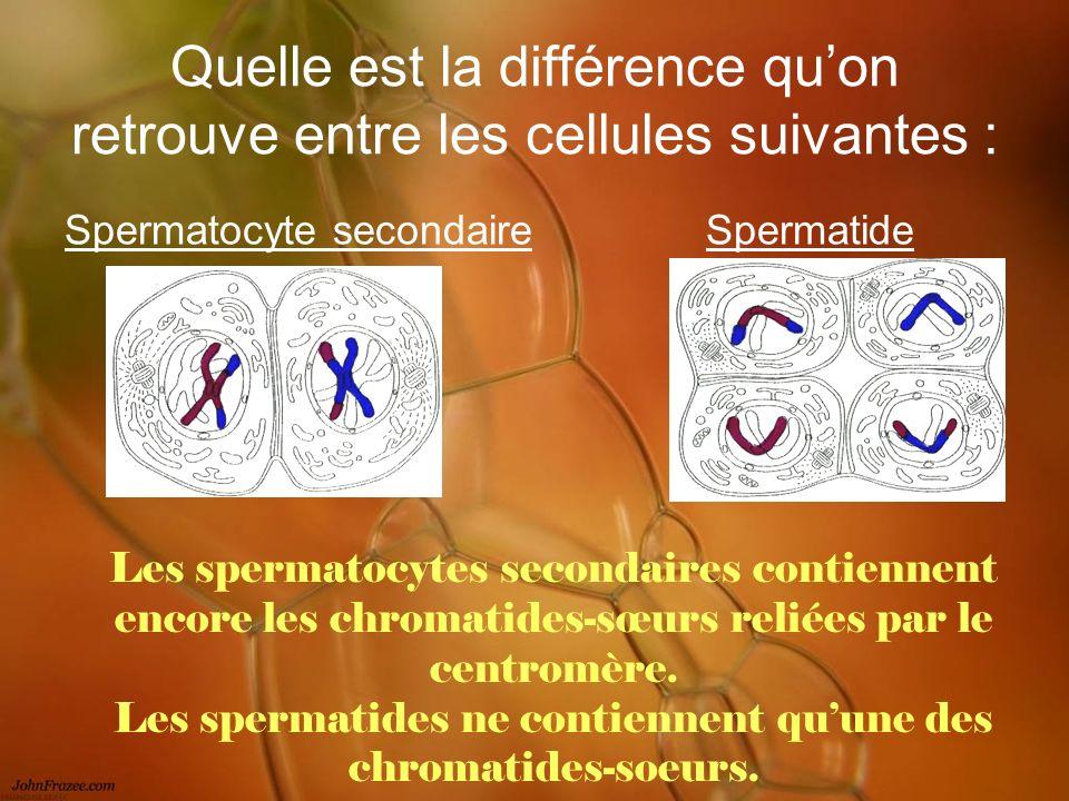 Quelle est la différence quon retrouve entre les cellules suivantes : Spermatocyte secondaireSpermatide Les spermatocytes secondaires contiennent enco