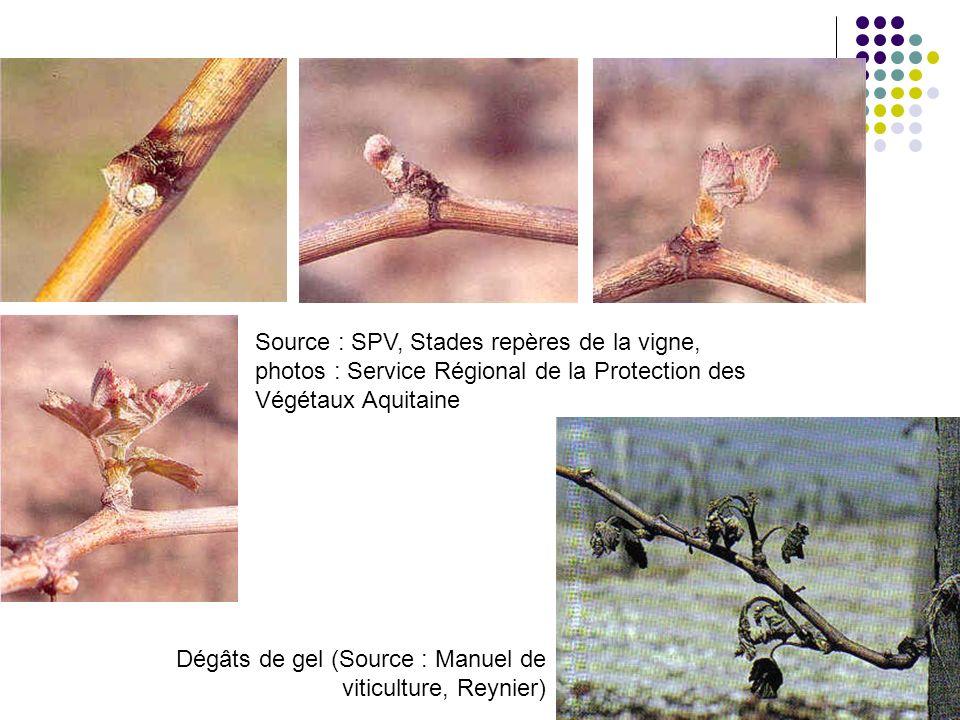 Source : SPV, Stades repères de la vigne, photos : Service Régional de la Protection des Végétaux Aquitaine Dégâts de gel (Source : Manuel de viticult