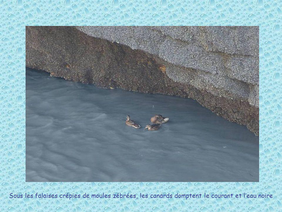 Sous les falaises crépies de moules zébrées, les canards domptent le courant et leau noire