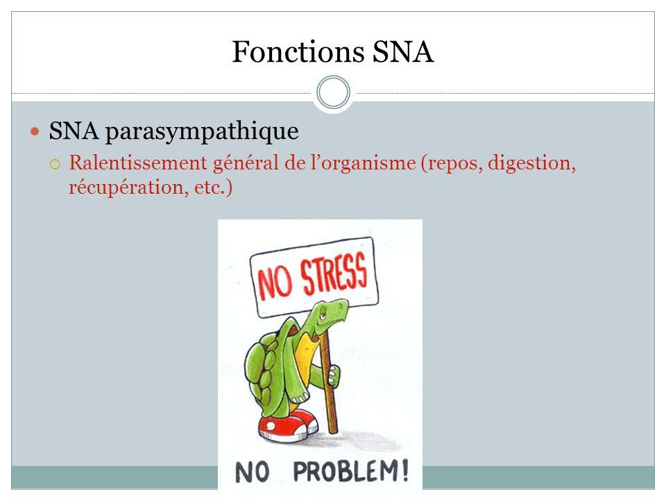 Fonctions SNA SNA parasympathique Ralentissement général de lorganisme (repos, digestion, récupération, etc.)