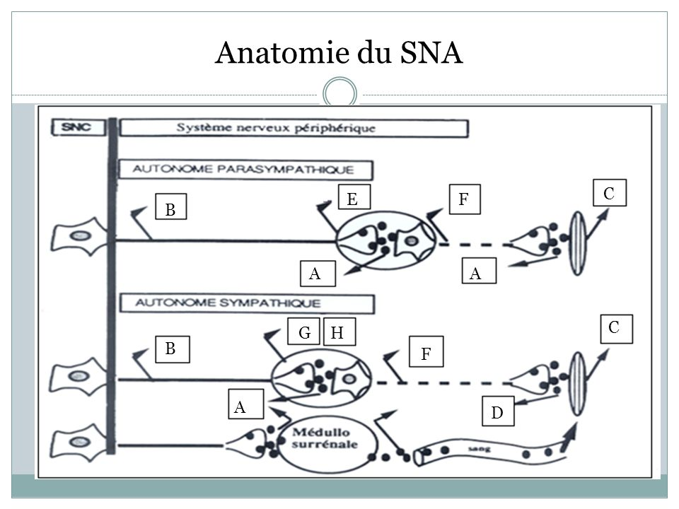 Anatomie du SNA B EF C AA B GH F C A D