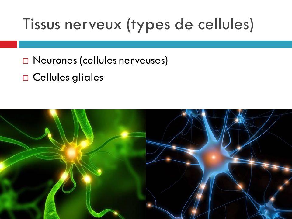 Tissus nerveux (types de cellules) Neurones (cellules nerveuses) Cellules gliales