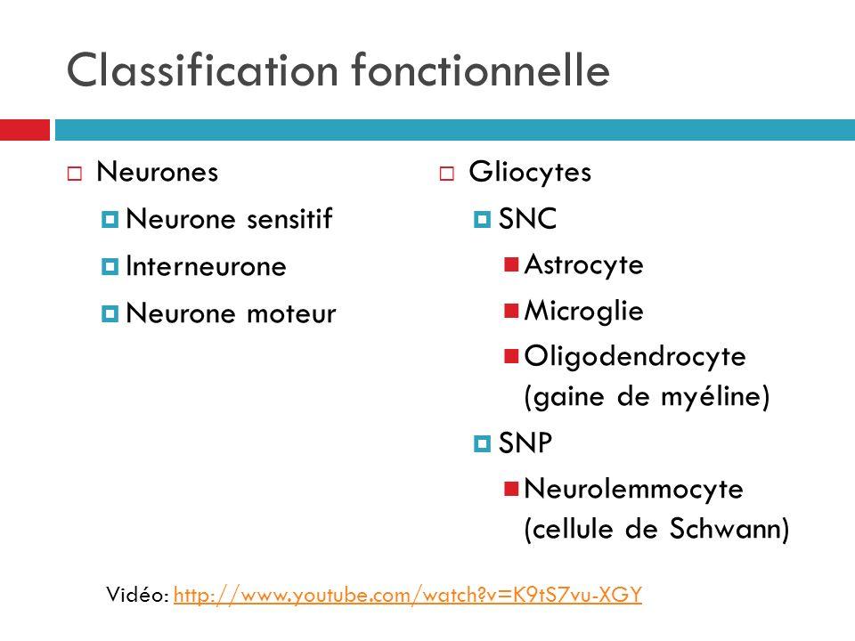 Classification fonctionnelle Neurones Neurone sensitif Interneurone Neurone moteur Gliocytes SNC Astrocyte Microglie Oligodendrocyte (gaine de myéline) SNP Neurolemmocyte (cellule de Schwann) Vidéo: http://www.youtube.com/watch?v=K9tS7vu-XGY