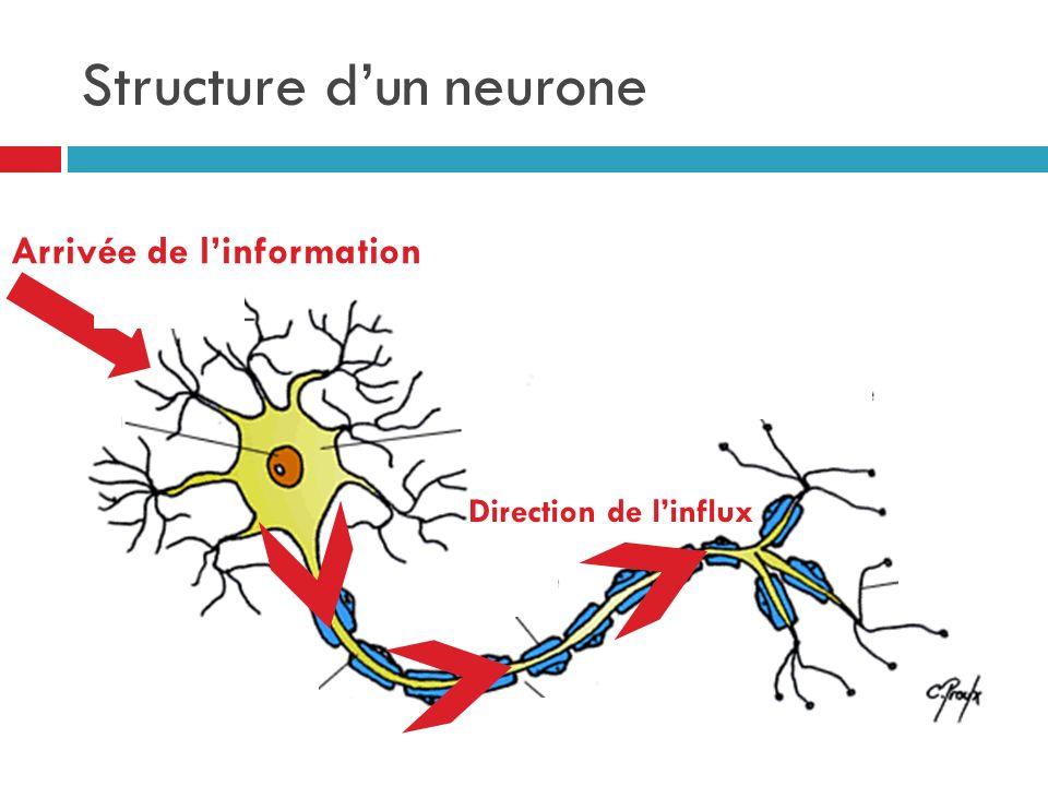 Structure dun neurone Arrivée de linformation Direction de linflux