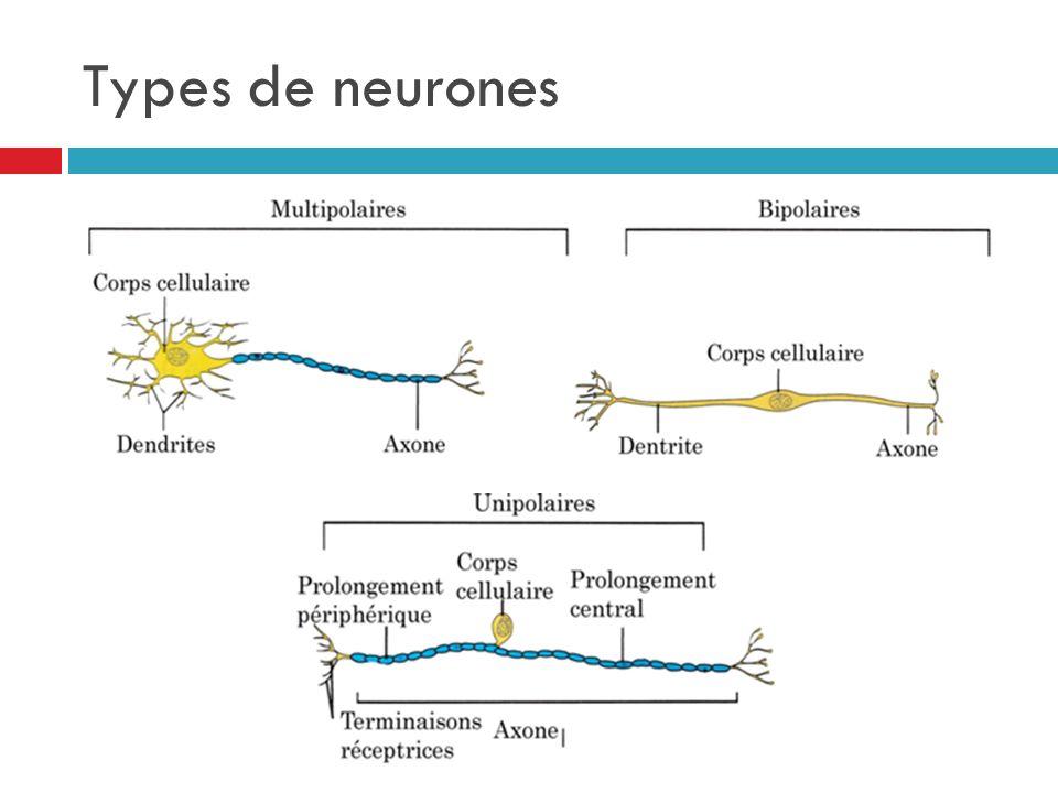 Types de neurones
