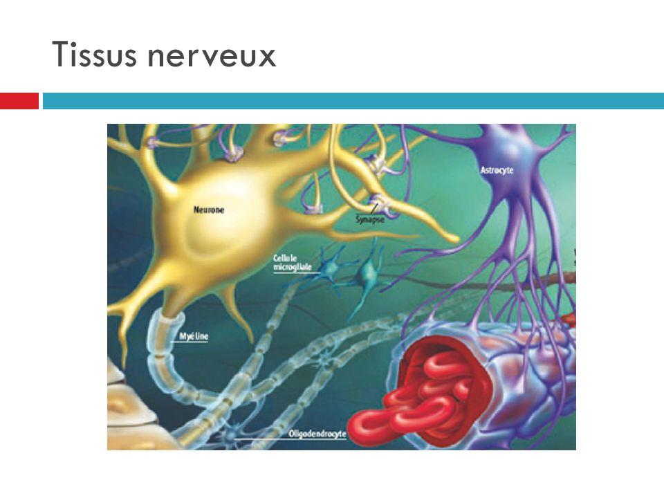 Tissus nerveux
