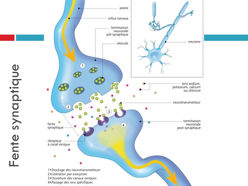 Fente synaptique