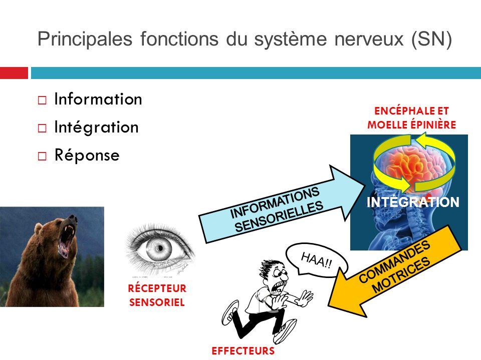 Principales fonctions du système nerveux (SN) Information Intégration Réponse HAA!.