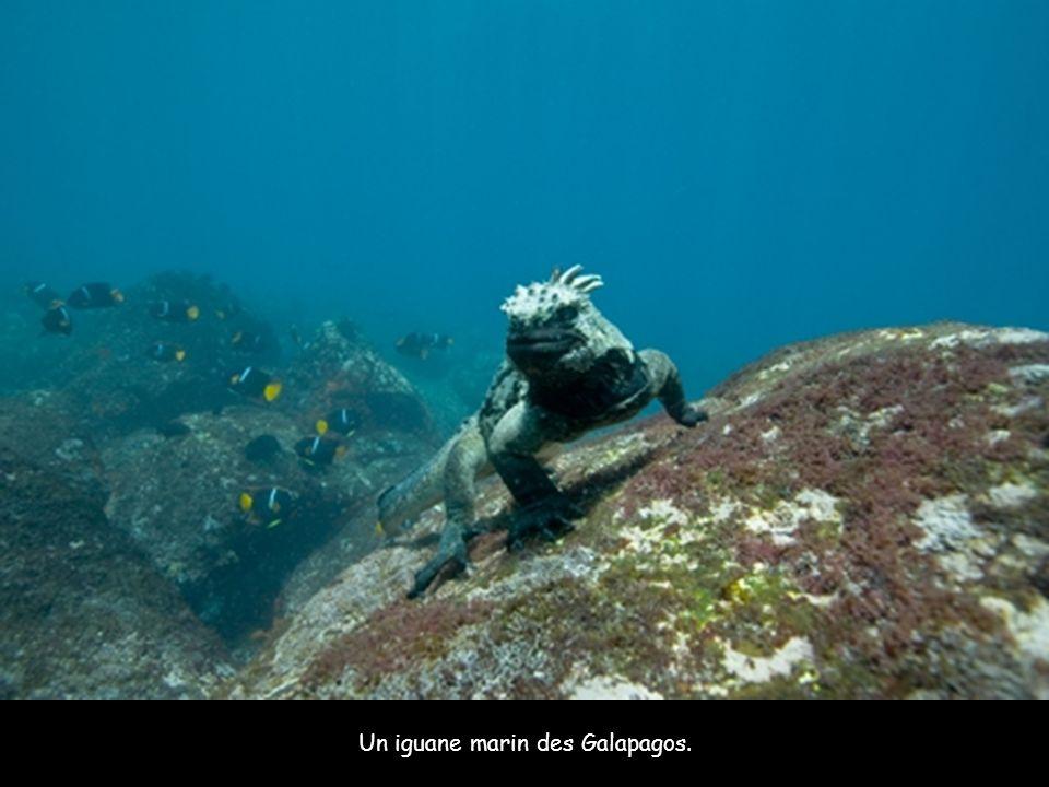 Un iguane marin des Galapagos.