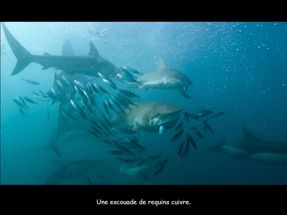 Un rorqual de Bryde aux prises avec un banc de sardines.