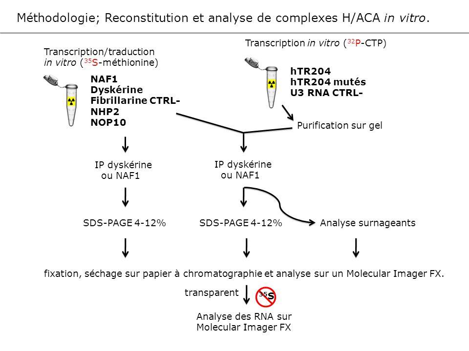 Méthodologie; Reconstitution et analyse de complexes H/ACA in vitro. Transcription/traduction in vitro ( 35 S-méthionine) NAF1 Dyskérine Fibrillarine