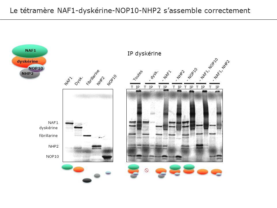 Le tétramère NAF1-dyskérine-NOP10-NHP2 sassemble correctement NAF1 Dysk. fibrillarine NHP2 NOP10 NAF1 dyskérine NOP10 NHP2 fibrillarine NAF1 dyskérine