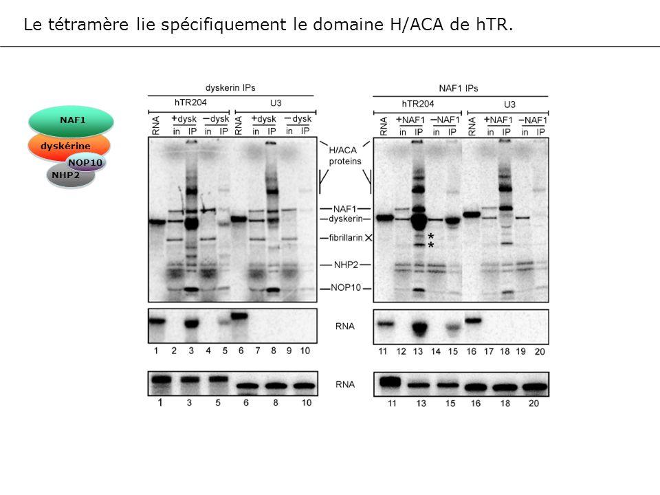 Le tétramère lie spécifiquement le domaine H/ACA de hTR. NAF1 dyskérine NOP10 NHP2