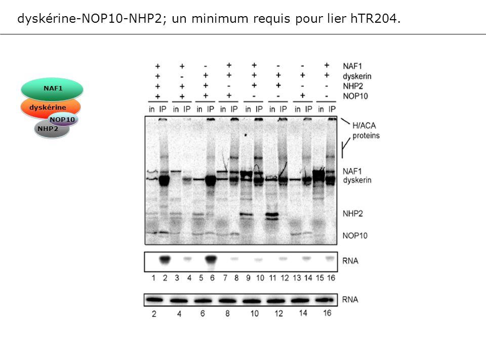 dyskérine-NOP10-NHP2; un minimum requis pour lier hTR204. NAF1 dyskérine NOP10 NHP2