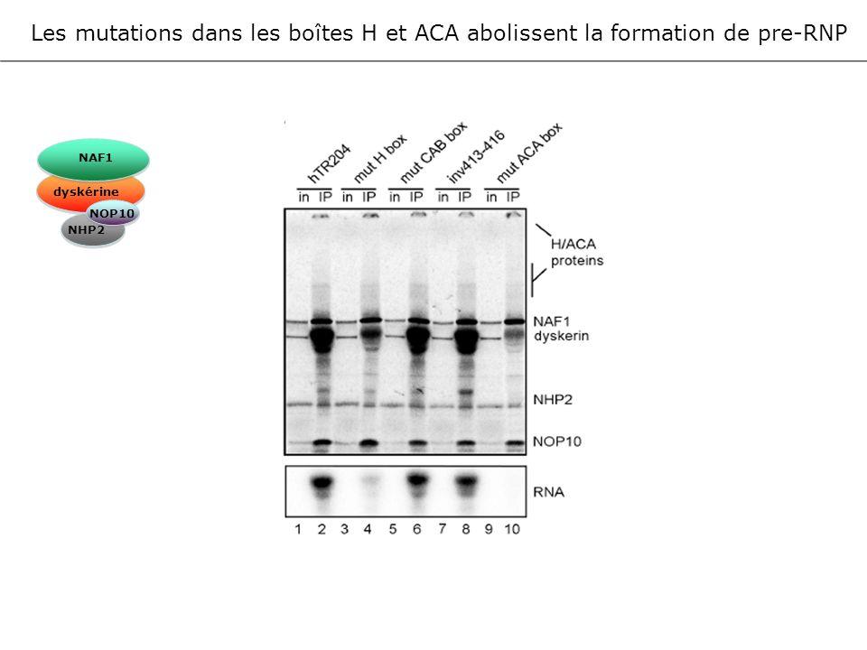 Les mutations dans les boîtes H et ACA abolissent la formation de pre-RNP NAF1 dyskérine NOP10 NHP2