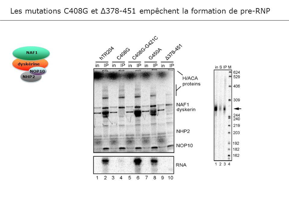 Les mutations C408G et 378-451 empêchent la formation de pre-RNP NAF1 dyskérine NOP10 NHP2