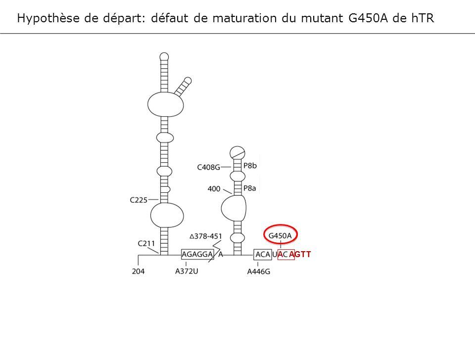 Hypothèse de départ: défaut de maturation du mutant G450A de hTR AGTTCGCT… AGTTCGCT… A