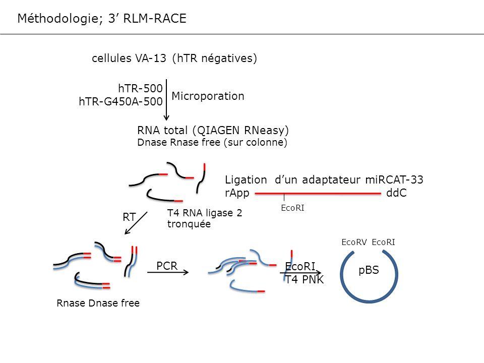 Méthodologie; 3 RLM-RACE cellules VA-13 (hTR négatives) Microporation hTR-500 hTR-G450A-500 RNA total (QIAGEN RNeasy) Dnase Rnase free (sur colonne) L