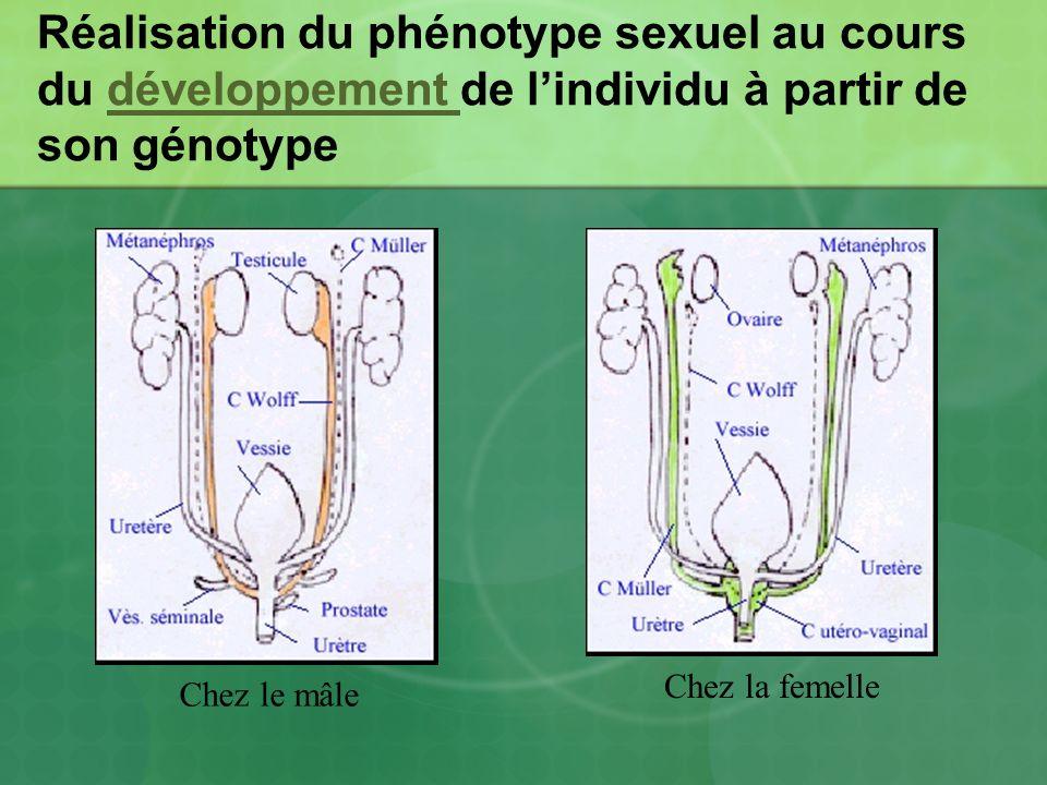 Déterminisme de la réalisation du phénotype sexuel à partir du génotype Chez le mâle, lexpression du gène Sry dans les cellules des gonades entraîne la synthèse de la protéine TDF Cette protéine déclenche lexpression de nombreux gènes qui conduisent à la différenciation des gonades en testicules: il ya acquisition du sexe gonadique mâle