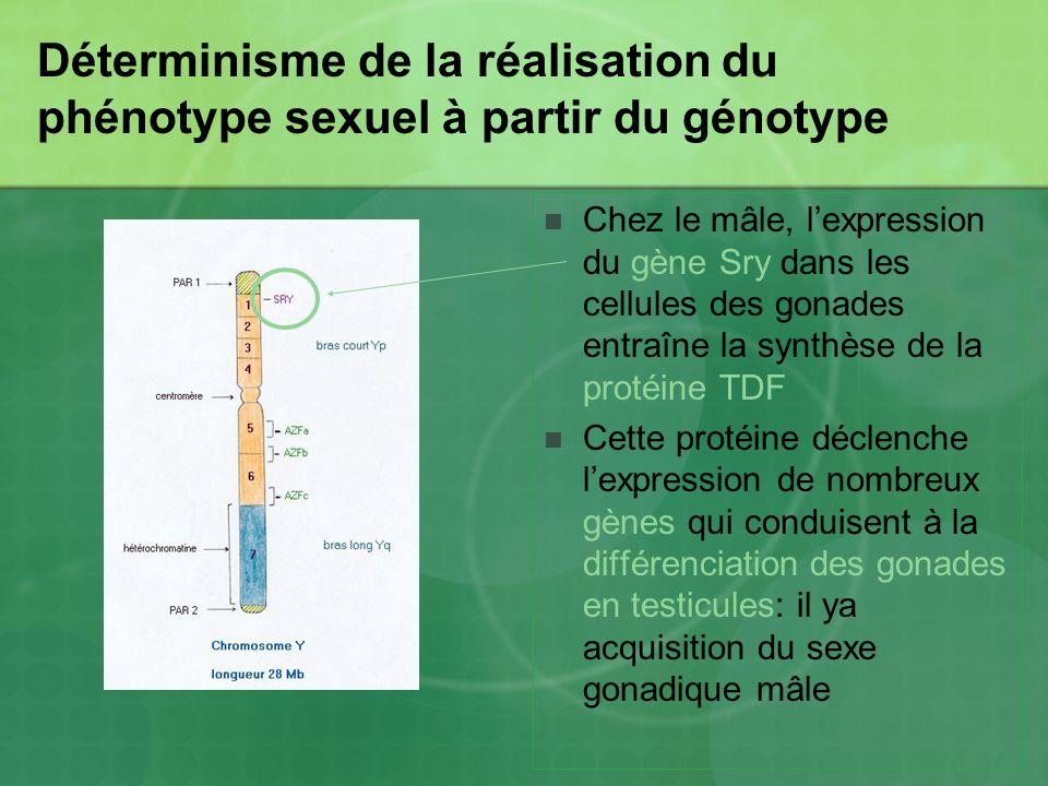 Déterminisme de la réalisation du phénotype sexuel à partir du génotype Chez le mâle, lexpression du gène Sry dans les cellules des gonades entraîne l