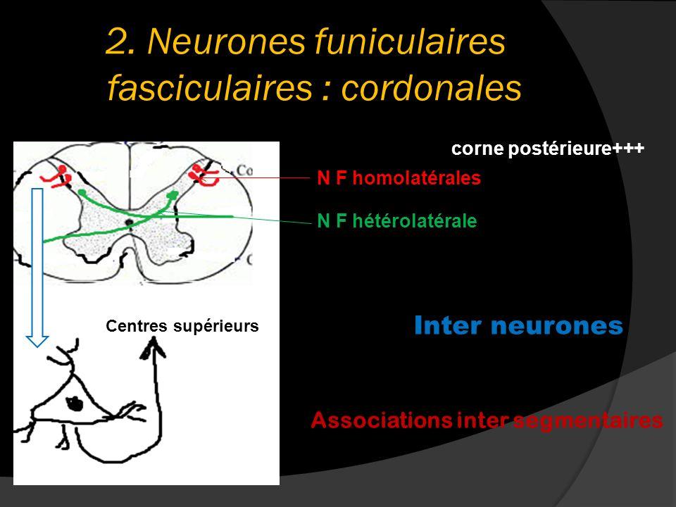 2. Neurones funiculaires fasciculaires : cordonales corne postérieure+++ N F homolatérales N F hétérolatérale Centres supérieurs Inter neurones Associ