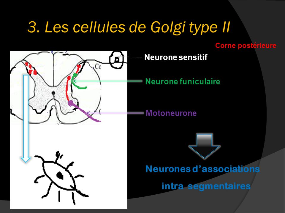 3. Les cellules de Golgi type II Corne postérieure Motoneurone Neurone funiculaire Neurone sensitif Neurones dassociations intra segmentaires