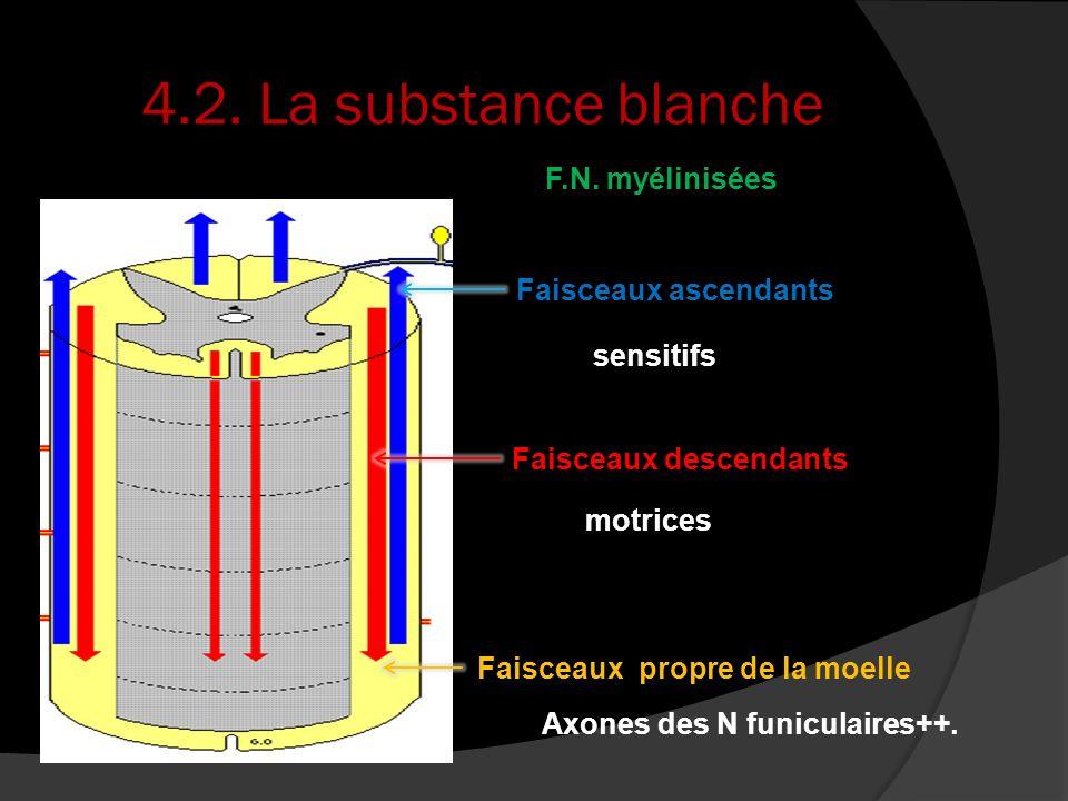 4.2. La substance blanche Faisceaux ascendants Faisceaux descendants Faisceaux propre de la moelle sensitifs motrices Axones des N funiculaires++. F.N