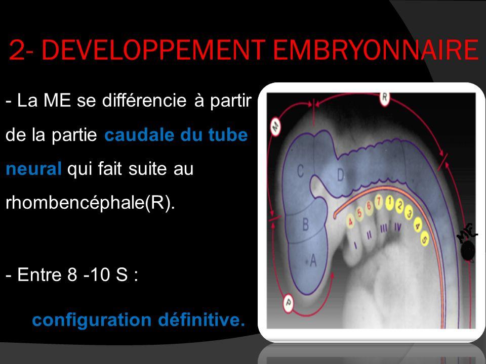2- DEVELOPPEMENT EMBRYONNAIRE - La ME se différencie à partir de la partie caudale du tube neural qui fait suite au rhombencéphale(R). - Entre 8 -10 S