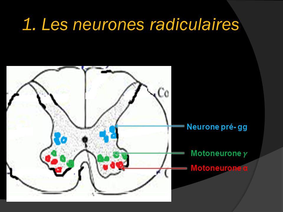1. Les neurones radiculaires Motoneurone α Neurone pré- gg