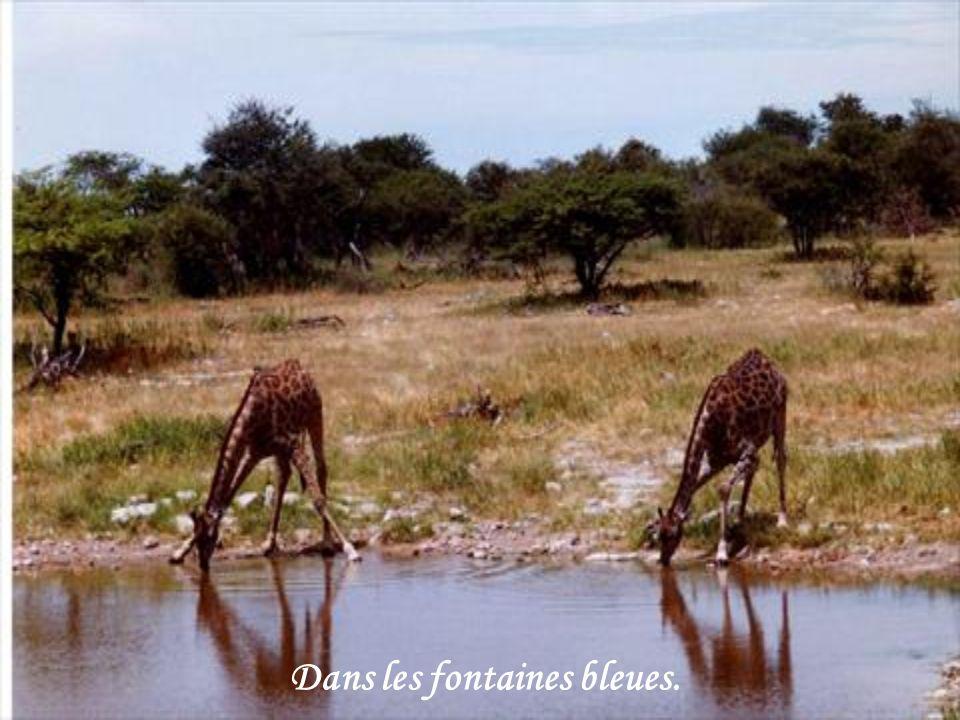 A lhorizon du parc, comme des masses brunes, ils évoluent, soulevant la poussière sous leurs pieds larges et sûrs.