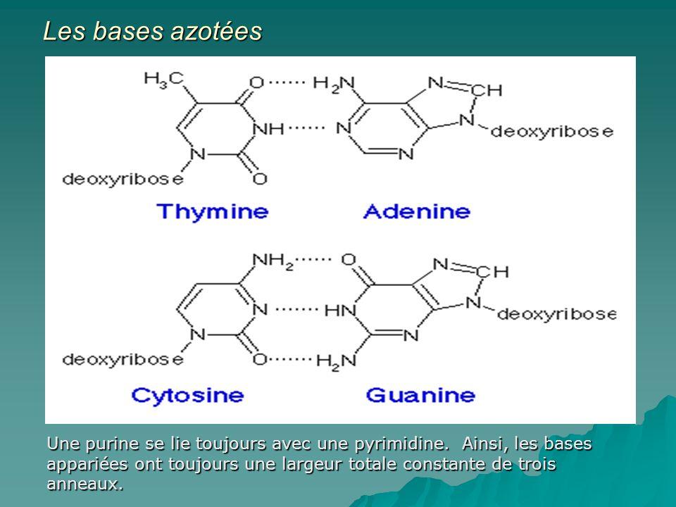 Les bases azotées Une purine se lie toujours avec une pyrimidine.