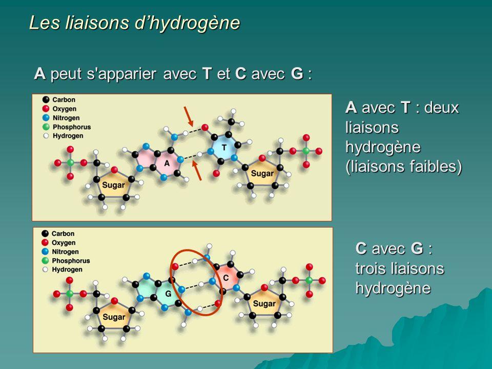 A peut s apparier avec T et C avec G : A avec T : deux liaisons hydrogène (liaisons faibles) C avec G : trois liaisons hydrogène Les liaisons dhydrogène