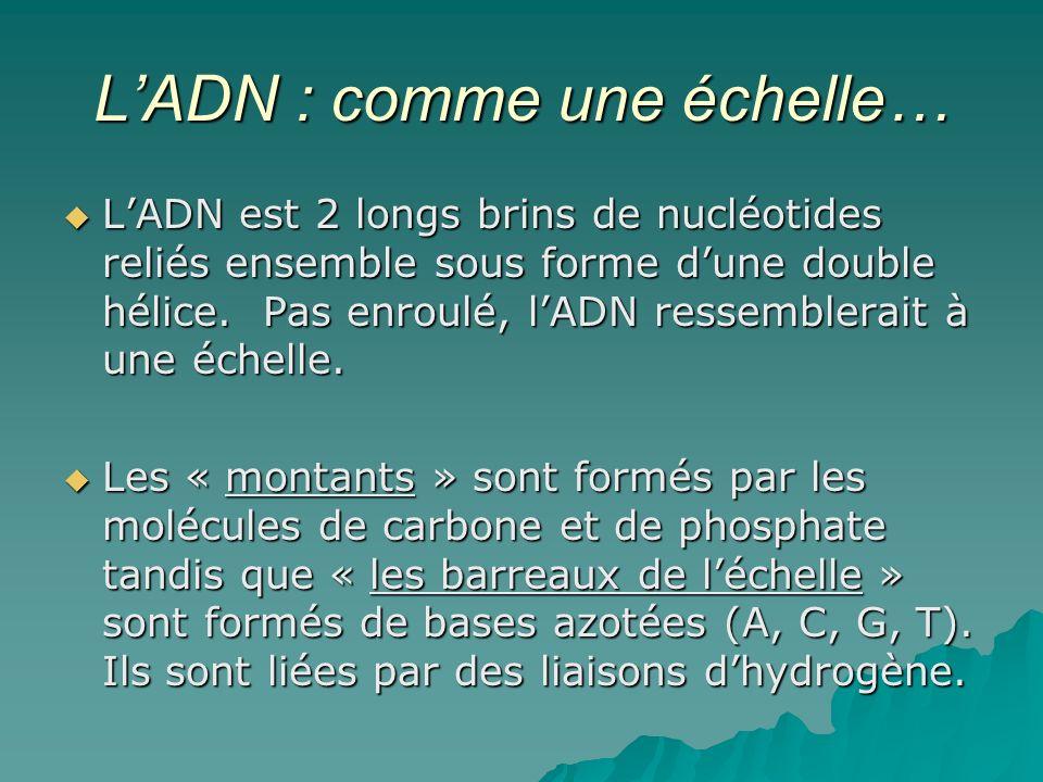 LADN : comme une échelle… LADN est 2 longs brins de nucléotides reliés ensemble sous forme dune double hélice.