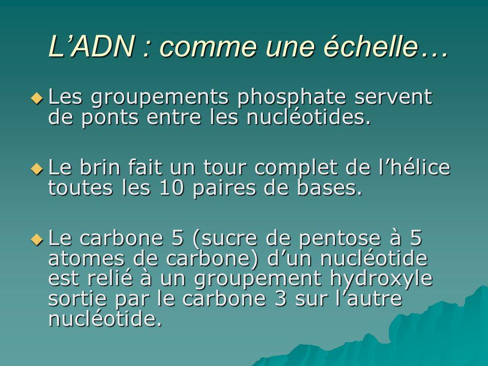LADN : comme une échelle… LADN : comme une échelle… Les groupements phosphate servent de ponts entre les nucléotides.