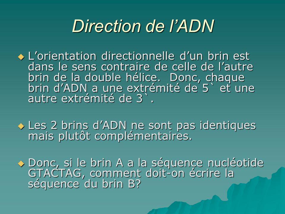 Direction de lADN Lorientation directionnelle dun brin est dans le sens contraire de celle de lautre brin de la double hélice.
